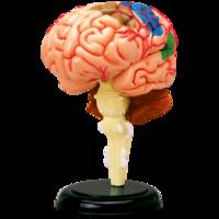 4D Master Объемная анатомическая модель Мозг человека