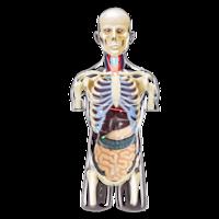 4D Master Объемная анатомическая модель Торс человека