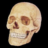 4D Master Объемная анатомическая модель Череп человека